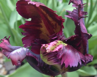 Photography - black Parrot Tulip