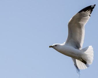 Sea Gull, bird, photo, print, photography, wall art, home decor
