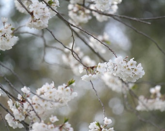 White Japanese Cherry Blossom 6.75 MB