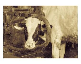Cow Photo, Cow Print, Art Photography, Cow Photography, Farm Animal, Photography, Photo of Cow, Wall Art, Office Art, Decor, Cow Photograph