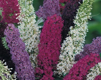 Butterfly Bush Mix Flower Seeds/Buddleia Davidii/Perennial  30+