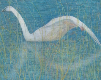 Painting of a young swan swimming through the reeds.  Watercolour and watercolour pencil