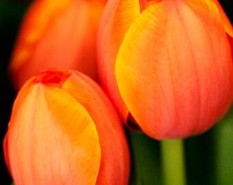 ORANGE TULIPS FLOWER, Art Print, Flower Print, Photography Print, Artist Signed Print