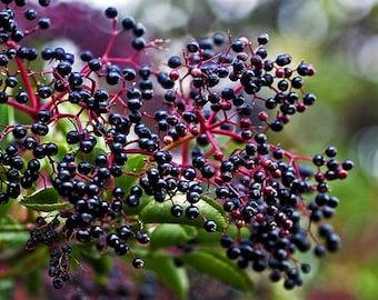 Elderberry and Ginger Infused Honey
