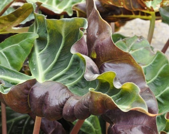 Large Leaves Photo