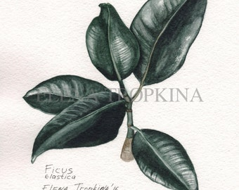 Ficus. Watercolor. Giclee.