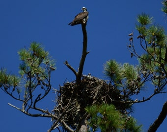 Adult and Adolescent Osprey Photograph
