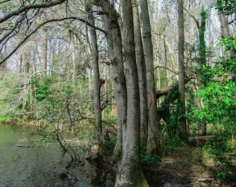 Swamp Tree Photo