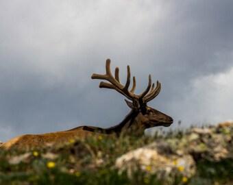 Resting Elk