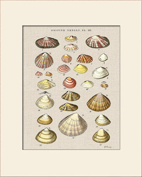 Sea Shell Print, Plate 3, George Sowerby, Art Print with Mat, Natural History Illustration, Wall Art, Nautical Art, Costal Decor