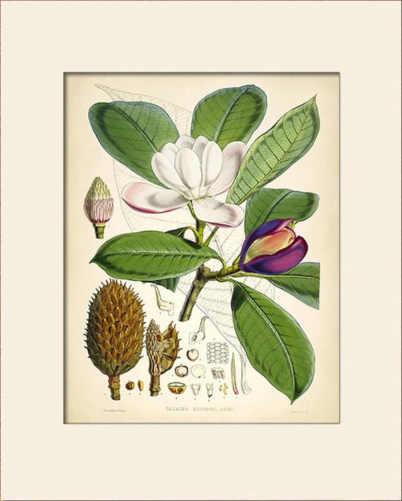 Botanical Print, Magnolia Campbellii, Art Print with Mat, Himalayan Plants, Natural History Illustration, Wall Art, Wall Decor