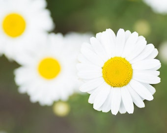 Daisy - standing out from a crowd