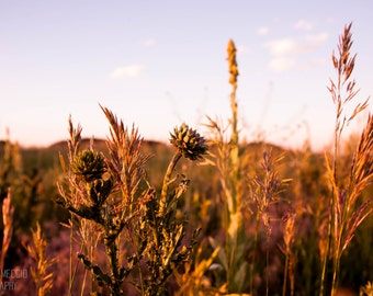 Thistles in Field: Unique WALL ART Color Floral Fine Art Photography Print Purple Green Golden Light