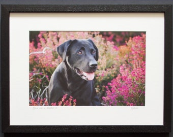 Black Lab in Heather I - Photographic Print