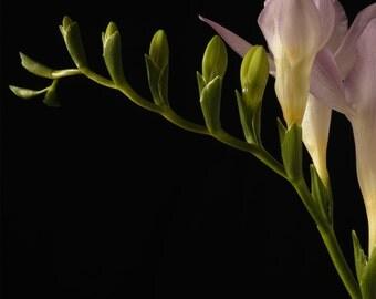 Freesia- Flower still life  fine art photography