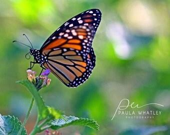 monarch butterfly art, butterfly print, butterfly wall art,  butterfly art, butterfly art print, Monarch butterfly photo, girls room decor