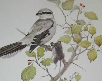 Shrike Bird Print Severt Andrewson 11522 Scriptural Scripture
