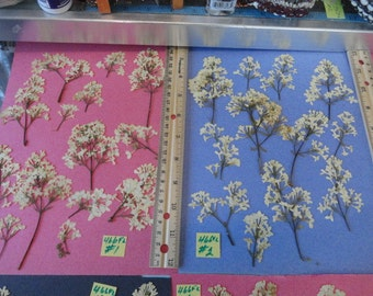 Choose your Lilac Flowers Grown Pressed Preserved in Alaska  466 FL