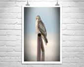 Red Tail Hawk, Art Photography, Hawk Picture, Bird Art, Bird Photography, Hawk Print, Wildlife Art, Wildlife Photo, Photo on Canvas, Gift