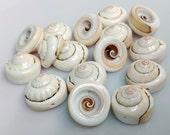 Natural Spiral Shell Beads - GM254