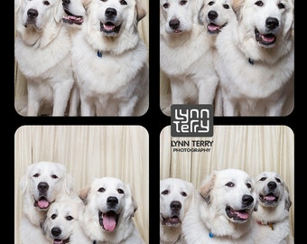 Great Pyrenese in Photo Booth  - 11x14 Lustre Print