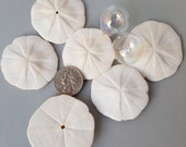 Beach Decor Sand Dollars, Nautical Decor Sand Dollars, Star Sand Dollars, Florida Sand Dollars, White Sand Dollars, Coastal Decor  6 PC