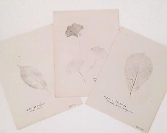 Botanical Leaf Rubbings 1927 -  Set 3 - Spice Bush - Ginkgo Tree - Chinese White Magnolia - Wall Art - Vintage