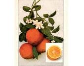 1911 ANTIQUE FRUIT PRINT oranges original antique fruit & vegetable food lithograph print - citrus