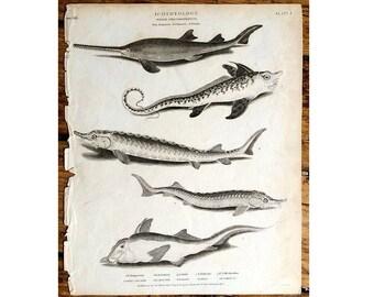 1809 ANTIQUE SHARK ENGRAVING  sea life original antique ocean animal engraving print
