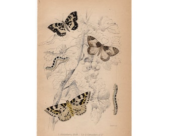 1843 antique BUTTERFLY MOTH engraving original antique entomology print insects Lepidoptera Caterpillar