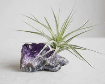 Air Plant on Amethyst Crystal, February Birthstone, Geode Chunk, Crystal Garden, Little Something, Gift For Her