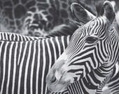 Zebra Print Wall Art Animal Fine Art Photography Grey Black and White Photography Animal Photography Zebra Stripes, Nature Photo, Zebra art