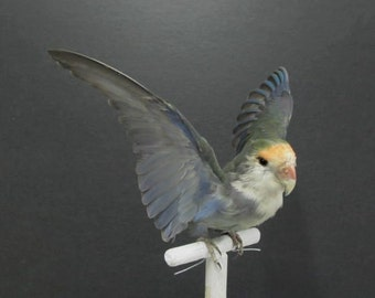 Blue and Green Peachface Lovebird  Real Bird Taxidermy Mount Wings Up
