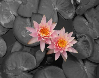 French Fuchsia Pink Water Lily Lotus on Black & White Lily Pads Nature Photography Wall Art Home Deco Watermelon Pink