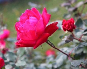 Last Rose of Summer, Lexington Cemetery, Lexington, KY--8 x 10 fine art photo, signed, Romantic Valentine Mothers Day Cottage Garden