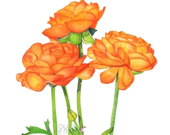 Ranunculus print of watercolour painting, ranunculus watercolor painting print, wedding flowers print, 5 by 7 size, R14916, botanical print