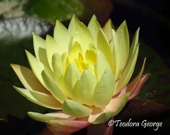 Yellow Water Lily Fine Art Photo Print