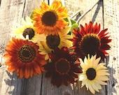 Sunflower Seeds, Mixed Sunflowers, Summer Garden Favorite, Great for Cut Flowers and Bee Friendly Gardens