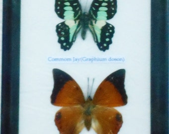 REAL 2 BEAUTIFUL Specimen BUTTERFLY Collection in Frame / Bf02A