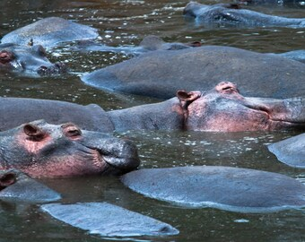 Hippos. Wildlife Images. African Hippos. Nature Photography. Fine Art Photography