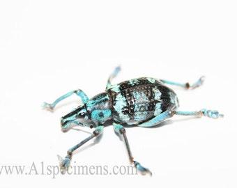 5 Spread Dried Blue Weevil Beetle Specimens