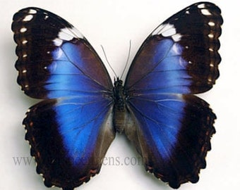 Morpho Helenor Violaceus A1 Butterfly