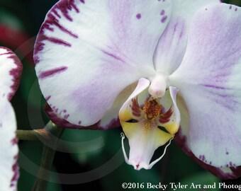 Phalaenopsis Orchids Fine Art Photo Print