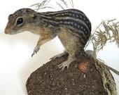 Taxidermy Thirteen-Lined Ground Squirrel