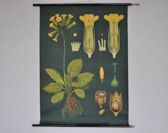 Original Pull Down School Chart. Yellow Flower. Primrose. Mid Century Botanical Print.  Jung Koch Quentell. Germany. 1100