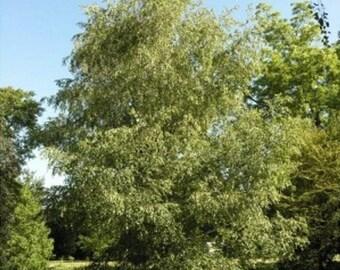 Gray Birch Tree Seeds, Betula populifolia - 25 Seeds