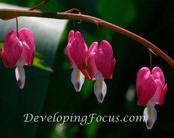 Pink Bleeding Hearts Photo Art, Bleeding Hearts Photography, Garden Photography, Flower Photography, Pink Flower Art, Dicentra spectabilis