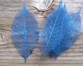 Bright blue rubber tree leaf skeletons, set of blue leaves, blue skeleton leaves