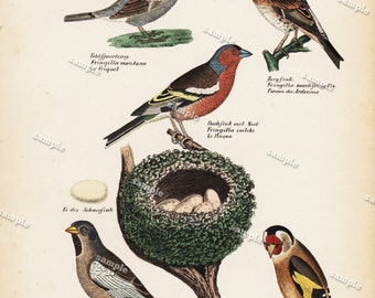 Antique Hand Colored Original Finch Print from Schinz First Edition 1840 not a recent Hand colored Print.