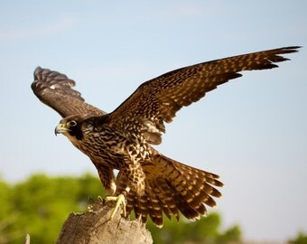 Peregrine Falcon Cross Stitch Pattern 14 ct. Aida